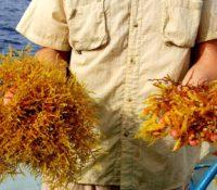 Stranden Bonaire overspoeld met stinkend sargassum wier